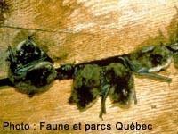 comment les souris entrent dans les maisons image intitule get rid of rats step 12 repeindre. Black Bedroom Furniture Sets. Home Design Ideas